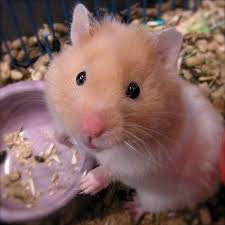 Hamster Palace - Learn all the species of Hamsters right here!