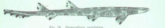 Parascylliidae