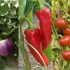 Réussir la culture de l´aubergine, du poivron et du piment ...