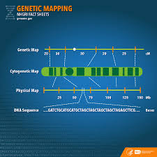 Image Mapping Genetic Mapping Fact Sheet National Human Genome Research