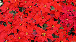 ?????????????????????? picture of a poinsettia