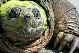 10 biting facts about snapping turtles mental floss