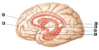 Sheep Brain Anatomy Game Art Labeling Quiz