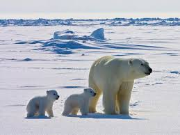 Interior Department Fails to Collect Billions in Oil Royalties  Launches Major Investigation into     Polar Bear Research Pinterest