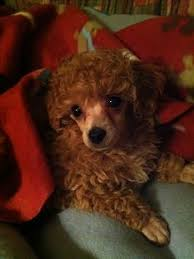 zwerg affenpinscher phantom poodle puppy this looks like my layla awwww