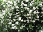 Image result for Philadelphus texensis