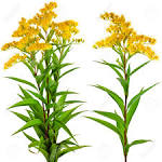 Image result for Solidago canadensis