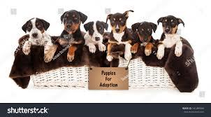 3 australian shepherd mix puppies for adoption basket six rottweiler doberman australian shepherd stock photo