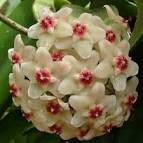 HOYA pubicalyx - Botany Photo of the Day