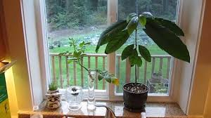 indoor avocado tree growing your own youtube