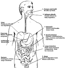 coloring page for digestive system coloring home