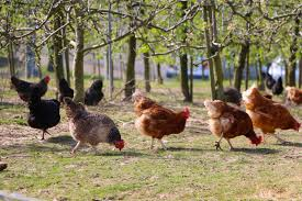 backyard chickens for sale livestock and chickens for sale in norfolk and bedfordshire