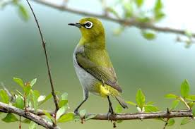 Bán chim chào mào huế và các loại chim khác bán  buôn bán lẻ