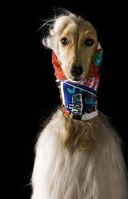 afghan hound long haired dogs afghan hounds pose in chic headscarf collection style life