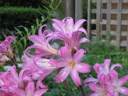 Jersey lily