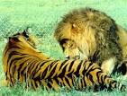 LION VS TIGER: Which One Will Win In A Fight? | . Informed ...
