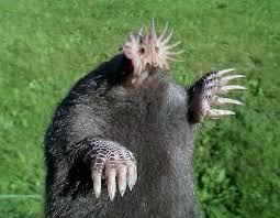 Tikus Tanah Bermoncong Bintang