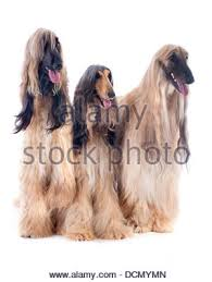 afghan hound long haired dogs afghan hounds in front of white background stock photo royalty
