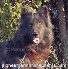 belgian sheepdog breeders in texas giant shepherd breeders are you shiloh shepherd breeders are