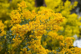Tree With Bright Yellow Flowers - wattle tree stock photos royalty free wattle tree images and pictures
