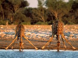giraffes - Page 3 Images?q=tbn:ANd9GcTbvRzxWACTTj6veqT7aR5O9mTxthZKmgTP5NmAnQxizwYqiGo&t=1&usg=__lKBbQnSrtmaHzzC-M2R9d-HUYCw=