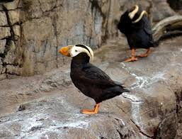 tufted puffins along the