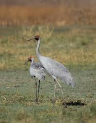 unidentified crane new zealand birds online