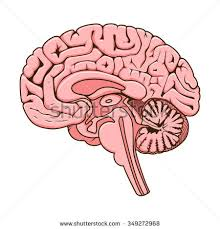 Structure Of Human Anatomy Human Brain Diagram Stock Images Royalty Free Images U0026 Vectors