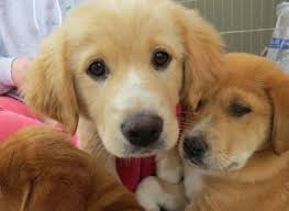 3 australian shepherd mix puppies for adoption adopt a dog