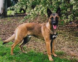 belgian shepherd uk breeders dog breeds dog breeds