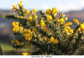 Tree With Bright Yellow Flowers - yellow bush pea stock photos u0026 yellow bush pea stock images alamy
