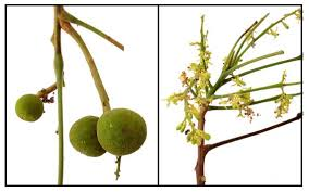 image of young santol fruit, borrowed from t1.gstatic.com