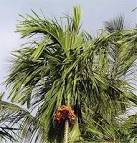 <b>Areca</b> catechu plantation in