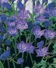 queen fabiola flower