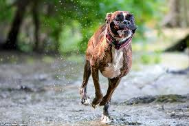 boxer dog uk photographer captures his boxer dog u0027s hilarious range of