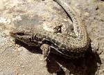 Image result for Acanthodactylus erythrurus