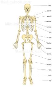 Structure Of Human Anatomy Skeletal System Human Anatomy