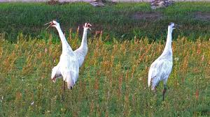 whooping cranes wood county wisconsin 2014 youtube