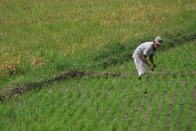 image of a Filipino farmer planting rice, borrowed from t1.gstatic.com