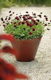 Flowers Plants by Best Chocolate Scented Flowers Plants And Flowers That Smell