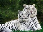 White Tiger - News - Bubblews