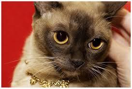 американская бурманская кошка
