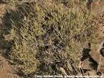 Image result for Ephedra multiflora