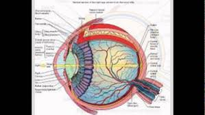Structure Of Human Anatomy Images Of Human Eye Structure Youtube