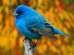 Beautiful Birds Wallpapers (beautiful birds wallpapers hybrid gallery blogspot 1600x1200)