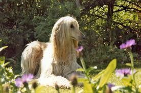 afghan hound long haired dogs afghan hound