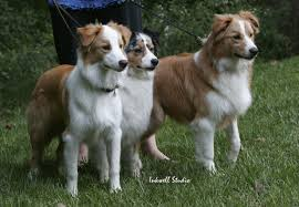 australian shepherd diseases sable and yellow australian shepherd health u0026 genetics institute