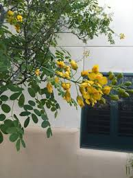 Tree With Bright Yellow Flowers - yellow mexican bird of paradise caesalpinia mexicana this is a