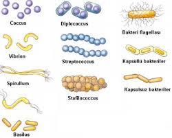Bakteri nedir – Bakteri Çeşitleri