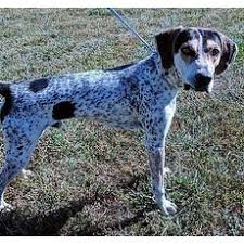 bluetick coonhound puppies for sale in ohio bluetick coonhound for adoption